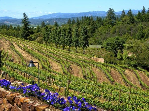 vineyard_sonoma_county